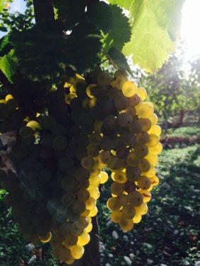 vins-charentais-igp-blancs-copyright-thomas-quintard