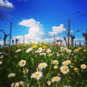 vins-charentais-igp-printemps-copyright-thomas-quintard