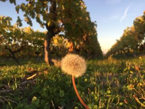 vins-charentais-igp-vignoble-copyright-thomasquintard