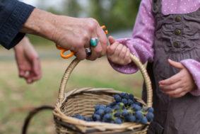 vins-charentais-rouge-igp-vendanges-copyright-helene-audouin