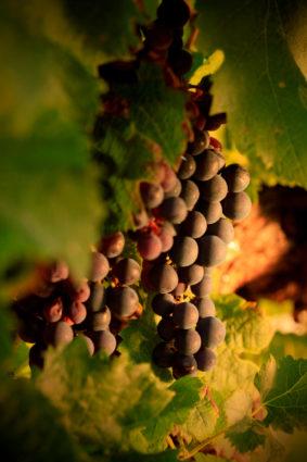 pineau-des-charente-2018-cepage-rouge-grappe