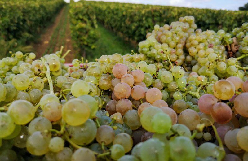 De la vigne au verre, découvrez une ferme viticole Bio à Boutiers-Saint-Trojan - 2
